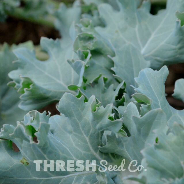 100 Siberian Dwarf Kale HEIRLOOM VEGETABLE! Seeds