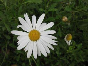 5-WHITE-MARGUERITE-PLUG-PLANTS-NEPTUNE-ARGYRANTHEMUM