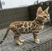 Bengal Kittens In Geelong Region Vic Cats Kittens Gumtree Australia Free Local Classifieds