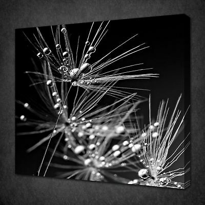 DEW ON DANDELION CANVAS PICTURE PRINT WALL ART FREE FAST DELIVERY