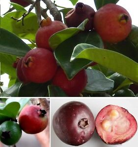erdbeer guave samen erdbeerbaum tropische b ume pflanzen f r den wintergarten ebay. Black Bedroom Furniture Sets. Home Design Ideas