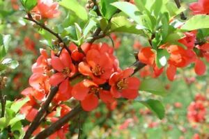 Chaenomeles Japonica 10 500 Seeds Cold Hardy Bonsai Red Japanese Quince Shrub Ebay