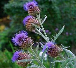 Cardoon artichoke thistle 35 seeds llarge fuzzy purple flowers cardoon artichoke thistle 35 seeds llarge fuzzy purple mightylinksfo