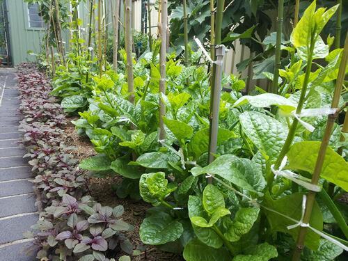Malabar Spinach - BULK 100 Seeds - PuiShak, Bachhali, Bertalha, Alugbati, Kodip