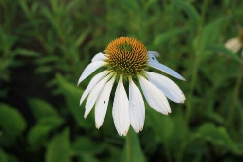 Echinacea purpurea White Swan 9cm Pot Please Read Description /& T/&Cs