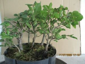 Pre-Bonsai-Hain-Buchenwald-7-alberi-Yamadori-baum-h-26-cm