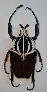 GG23-Beetles-MONSTER-Goliathus-goliatus-from-Congo-RDC