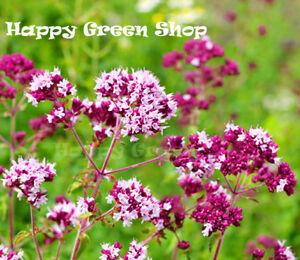 PURPLE-OREGANO-Wild-Marjoram-1000-seeds-Origanum-vulgare-Improved-strain