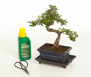Image is loading Bonsai-Tree-Gift-Set-15cm-Chinese-Elm-Indoor-