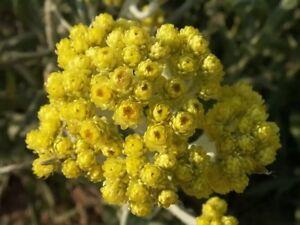 Helichrysum-arenarium-50-seeds-dwarf-everlast-immortelle-herbal-teas-plant