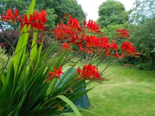 100 X SEEDS RED CROCOSMIA  VIBRANT RED LUCIFER  PERENNIAL