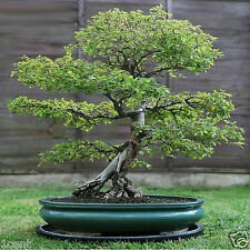 100 seeds of Elm tree bonsai wood Ulmus parvifolia Lacebark
