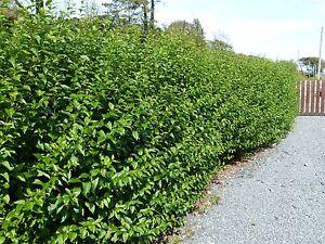 50 Green Privet Hedging Plants Ligustrum Hedge 40 60cm