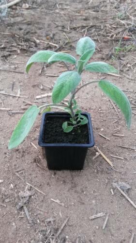 Salvia Officinalis Plants Sauge en Racines Nues