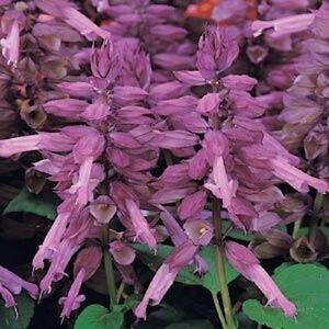 50-Salvia-Seeds-Vista-Lavender-FLOWER-SEEDS-Garden-Starts-Nursery