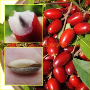 Semillas De Fruta Raras Semillas De Frutas Synsepalum Dulcificum