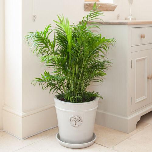 Areca palm 24cm pot 120cm tall