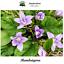 Mandragora-autumnalis-Mandragora-100-semillas-Seeds