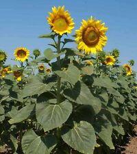20 Seeds - Giant Sunflower Mix