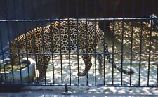 1960 COLOR SLIDE 1128 Washington DC National Zoo Big Cat Leopard in Cage
