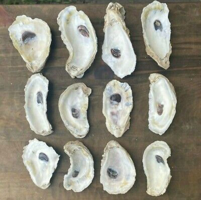 25  Large Cup Oyster Shells 2.5-3.5 Inches Long for Jewelry Ornaments Crafts