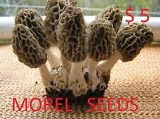 BLACK MOREL Morchella conica mycelium plugs spawn 4 dowels $4.90