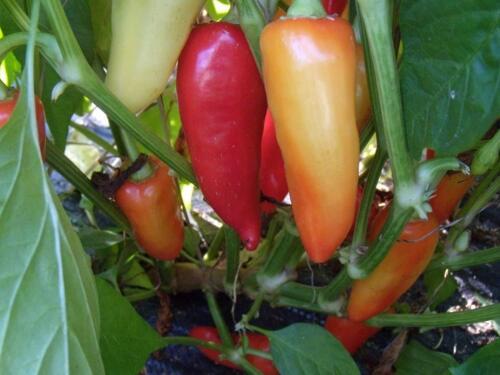 NON-GMO Santa Fe Grande Hot Pepper Seeds Guero FREE SHIPPING Variety Sizes