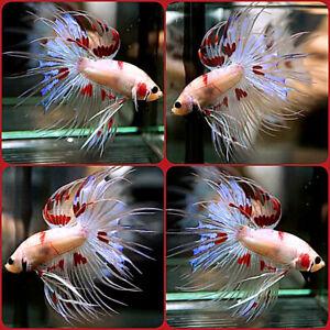 SUPER RARE!!! Live Betta Fish ABSOLUTE PERFECT RED DALMATIAN Crowntail Male #144