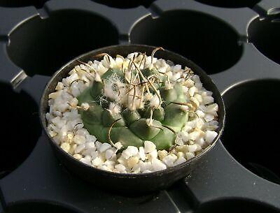 rare cactus Own greenhouse. Turbinicarpus schwarzii 25 SEEDS