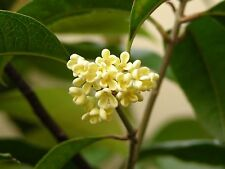 Osmanthus fragrans TEA OLIVE Evergreen 1 Plant!