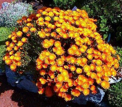 Lampranthus Aureus orange ice plant living stone succulent mesembs seed 20 SEEDS