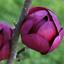 10Pcs-Yulan-Magnolia-Flower-Tree-Seeds-Rare-2-Kinds-Perennial-Garden-Yard thumbnail 3