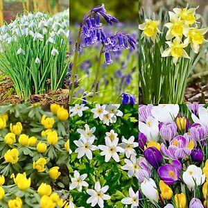 Snowdrops Bluebell Wild Daffodil Wild Garlic Wood Anemones