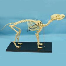 Pvc Veterinary Anatomy Dog Bone Skull Canine Skeleton Teaching Anatomical Model
