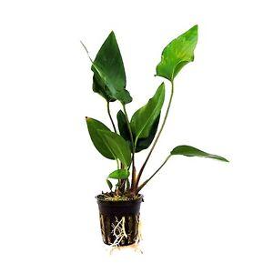 6 x 5 cm Pots d'Anubias Hastifolia