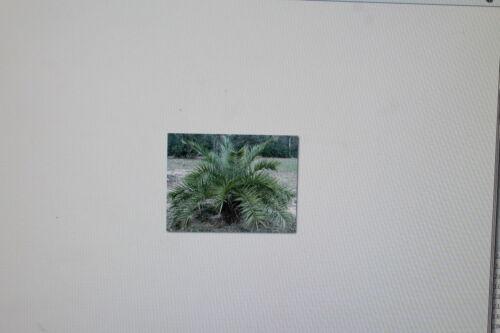 20 Samen Phoenix loureiroi var.humilis #237 ,Berg-Dattelpalme,Palme kashmir