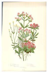 Antique-colour-print-botanical-flower-study-Least-Gentianella-Common-Centaury