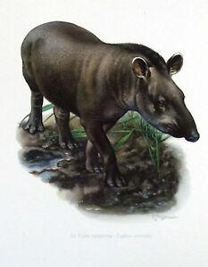 Impression-Affiche-papier-Histoire-Naturelle-le-Tapir-Terrestre-Tapirus-terrestr