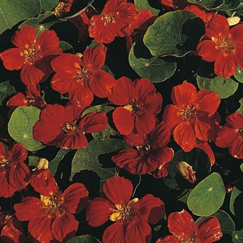 JEWEL MAHOGANY NASTURTIUM FLOWER SEEDS DEER RESISTANT 25 NEW ANNUAL