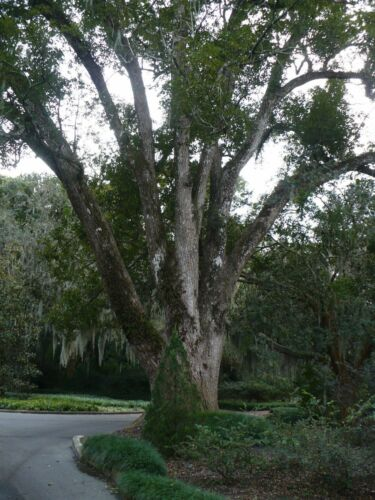 Details about  /Camphor Tree   Cinnamomum camphora   10 Seeds Free US Shipping