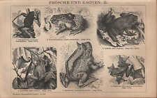 Lithografie 1902: FRÖSCHE UND KRÖTEN II. Taschen-Horn-Flugfrosch Geburtshelferkr