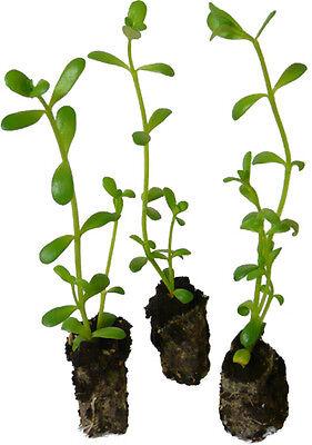 20 x plant de Brahmi - Bacopa monnieri - plante médicinale