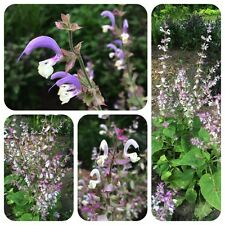 Muskatellersalbei Salvia sclarea Zierpflanze Duftpflanze