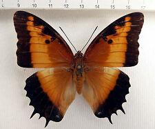 Nymphalidae,Charaxas pollux pollux FEMALE,ex Zentralafrikanischer Republik  n313