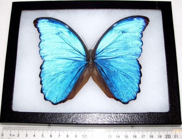 Real Wings Framed Butterfly Blue Peruvian Morpho Didius Flat Paper ...