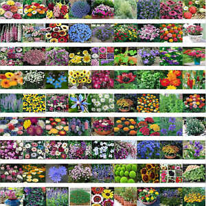 200-x-seeds-mixed-garden-flowers-Spring-and-autumn-of-the-four-seasons-climbing