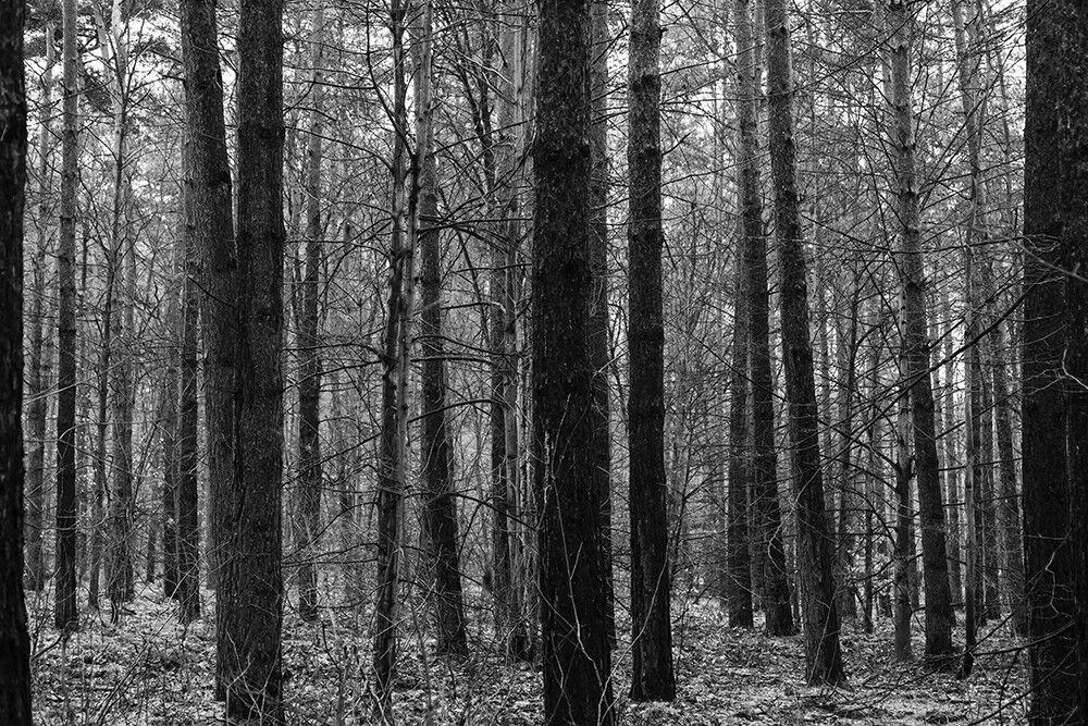 Fototapete Wald Bäume Schwarzweiß - Kleistertapete oder Selbstklebende Tapete