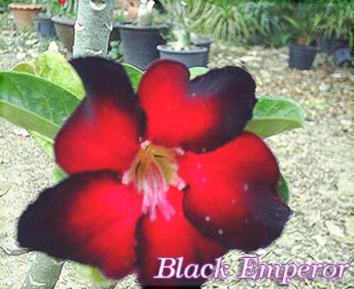 """Adenium Obesum /""""Black /_ empereur/"""" fresh /& viable 100 graines"""