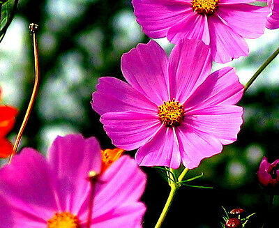 200 TALL PINK COSMOS Bipinnatus Flower Seeds *Comb S/H