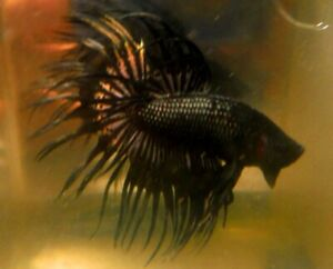 Black Copper Crowntail Male